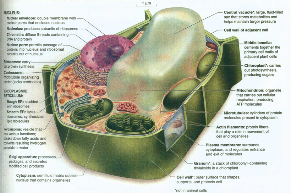 This is the picture of the plant cell in the biology book. Notice the ...