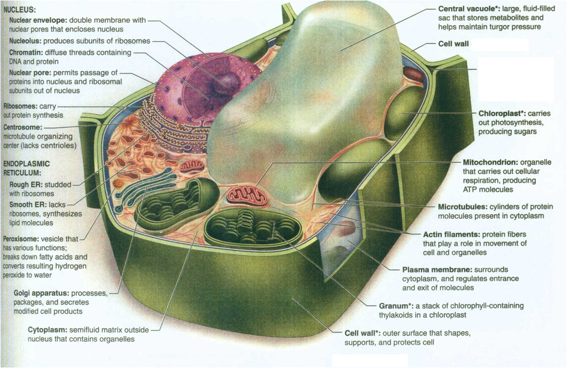 plant cell structure diagram moreover plant animal cell not labeled ...